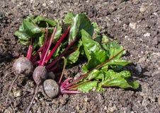 在地面上的新鲜的甜菜根在庭院里 免版税库存图片