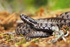 在地面上的有毒蛇蝎 免版税库存图片