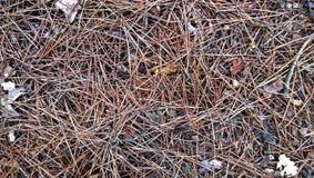 在地面上的杉木针 免版税图库摄影