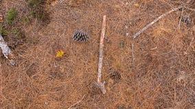 在地面上的杉木锥体 免版税库存图片