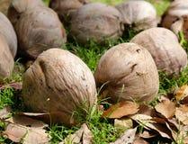 在地面上的椰子 库存图片