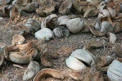 在地面上的椰子spathes 免版税库存照片
