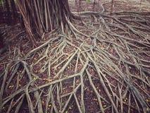 在地面上的榕树根 免版税库存照片