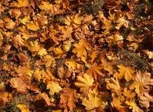 在地面上的槭树叶子 免版税库存图片