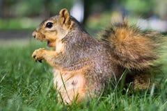 在地面上的灰鼠吃坚果的 库存照片