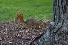在地面上的灰鼠在树附近 库存图片
