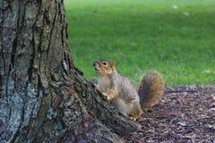 在地面上的灰鼠在树附近 免版税库存图片