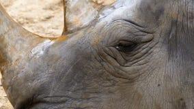 在地面上的犀牛谎言在Khao Kheow打开动物园 泰国 影视素材