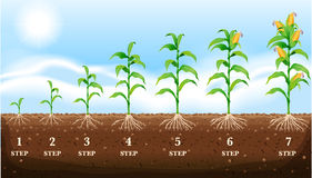 在地面上的生长玉米 免版税库存图片