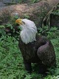 在地面上的美国白头鹰在蕨 库存图片