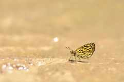 在地面上的老虎跳跃者蝴蝶哺养的食物本质上,泰国 库存图片