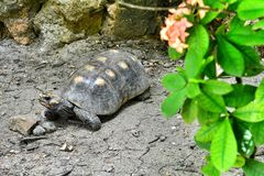 在地面上的花围拢的大乌龟 库存照片