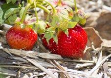 在地面上的草莓 库存照片