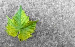 在地面上的葡萄叶子 免版税库存图片