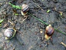 在地面上的蜗牛爬行在雨以后 库存图片