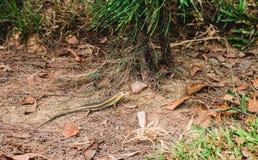 在地面上的蜥蜴 免版税库存照片