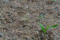 在地面上的蝴蝶 免版税库存图片