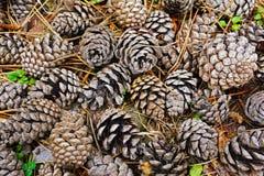 在地面上的锥体在森林里 库存照片