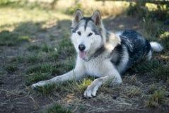 在地面上的阿拉斯加的爱斯基摩狗 库存照片