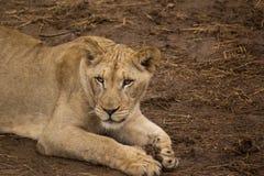 在地面上的雌狮 免版税库存图片