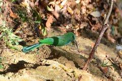 在地面上的青有胡子的食蜂鸟鸟 免版税库存图片