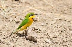 在地面上的食蜂鸟 库存图片