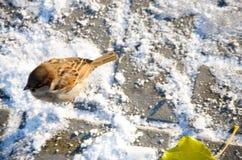 在地面上的麻雀在冬天 库存照片