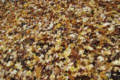 在地面上的黄色槭树叶子谎言 库存照片