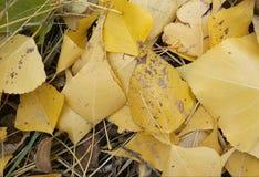 在地面上的黄色秋叶谎言 免版税库存图片