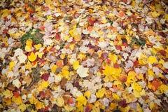 在地面上的黄色秋叶 库存照片