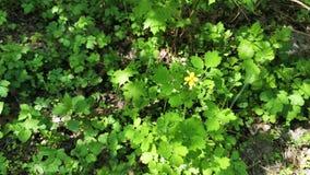 在地面上的黄色花在从风的绿草摇动中