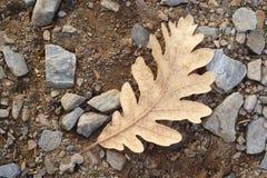 在地面上的冻秋天橡木叶子 自然宏指令照片 库存照片
