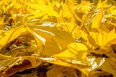 在地面上的黄色叶子 库存照片