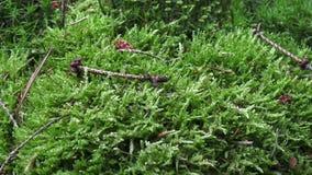 在地面上的绿色青苔 细节moos在森林里-接近  股票视频
