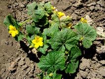 在地面上的黄色黄瓜花 免版税库存图片