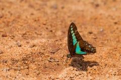 在地面上的蝴蝶,棕色背景 免版税库存照片
