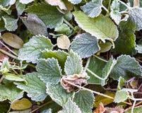 在地面上的结霜的绿色叶子 库存照片