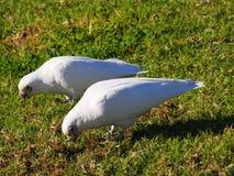 在地面上的Corellas饲料接近Avalon海滩NSW 库存图片