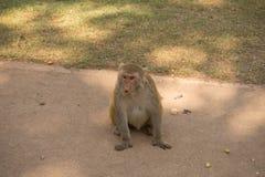 在地面上的Pragnant猴子 库存图片