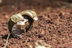 在地面上隔绝的吠声的橡胶树种子,三叶胶brasiliensis播种特写镜头照片 库存照片