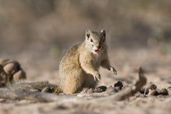 在地面吃的上树灰鼠 免版税库存照片