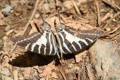 在地面的一只斑马swallowtail蝴蝶 免版税库存图片