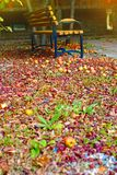 在地面的下落的成熟苹果在有一个长木凳的一个公园在美好的光 库存照片