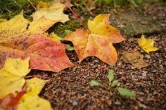 在地面的下落的秋天枫叶在早晨 图库摄影
