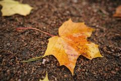 在地面的下落的秋天枫叶在早晨 免版税库存照片