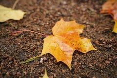 在地面的下落的秋天枫叶在早晨 库存图片