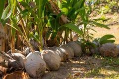 在地面的发芽的椰子 成长和新的生活概念 夏天密林背景 热带植物背景 免版税图库摄影