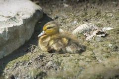 在地面的小的小鸭子 库存图片