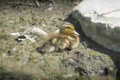 在地面的小的小鸭子 库存照片