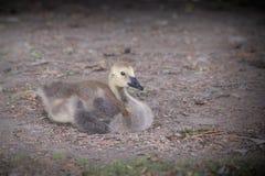 在地面的小的小鹅 免版税库存照片